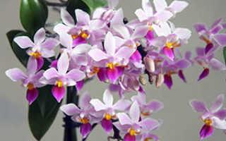Секреты ухода за орхидеей дома, трудности, пересадка