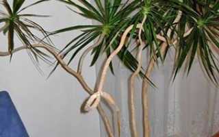 Растение Драцена: уход в домашних условиях, фото и виды, размножение и пересадка