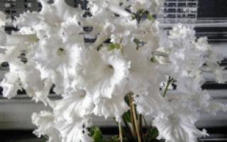 Цветок Стрептокарпус: уход в домашних условиях, фото и сорта, выращивание из семян
