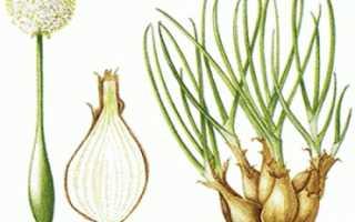 Лук-шалот: выращивание и уход, фото, как вырастить из семян в открытом грунте