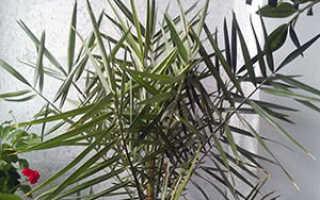 Домашняя Финиковая пальма из косточки в домашних условиях, фото, размножение, пересадка, почему сохнет и желтеет
