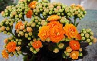 Цветок каланхоэ: уход в домашних условиях, фото и виды, размножение и пересадка