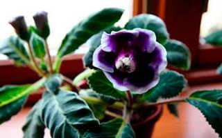 Семейство Геснериевых растений: список, описание, роды и виды