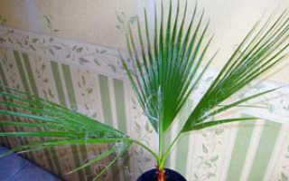 Список комнатных пальм, популярные комнатные пальмы и их названия