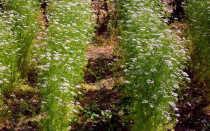 Кориандр: посадка и уход в открытом грунте, выращивание из семян, полезный свойства