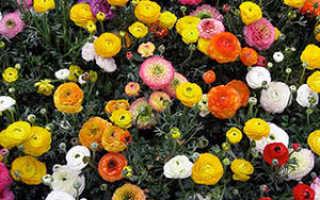 Цветы лютики: посадка и уход, фото, выращивание в открытом грунте азиатского вида