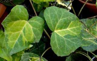 Ядовитые комнатные растения: названия и фото опасных домашних цветов