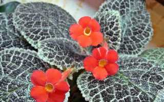 Правила ухода, описание с фото Эписции медно-красной, гвоздикоцветной и ползучей