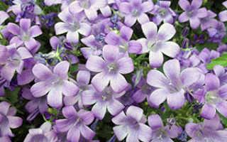 Цветок Кампанула: уход в домашних условиях, фото, посадка и размножение