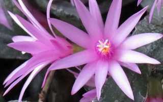 Цветок Хатиора: уход в домашних условиях, фото, виды, размножение, почему не цветет