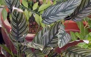 Семейство Марантовых растений: список, описание, роды и виды