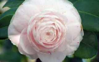 Цветок камелия: уход в домашних условиях, фото и виды, размножение и пересадка