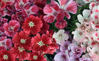 Семейство Кипрейных растений: список, описание, роды и виды