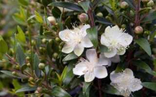 Семейство Миртовых растений: список, описание, роды и виды