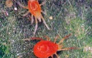 Меры борьбы с паутинным клещом, виды клещей, причины появления, обработка против клещей