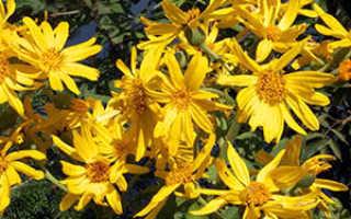 Цветок бузульник: посадка и уход, фото, выращивание в открытом грунте из семян