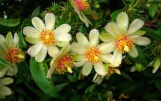 Кактус Переския: уход в домашних условиях, фото, цветение и размножение