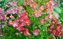Выращивание схизантуса: посадка, виды и сорта