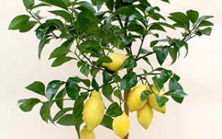 Домашний Лимон: уход в домашних условиях, фото, как вырастить из косточки, условия выращивания