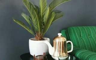 Пальма Цикас: уход в домашних условиях, фото, размножение, пересадка, цикас желтеет