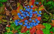 Магония Падуболистная: посадка и уход в открытом грунте, фото, выращивание в Подмосковье