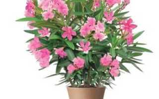Цветок Олеандр: уход в домашних условиях, фото и виды, выращивание из семян