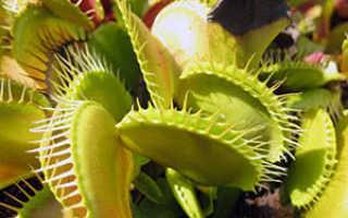 Плотоядные растения: виды и особенности выращивания