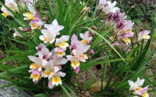 Фрезия: посадка и уход в открытом грунте и в домашних условиях