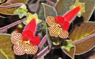 Цветок колерия: уход в домашних условиях, фото и виды, размножение и пересадка