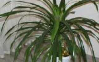 Цветок Панданус: уход в домашних условиях, фото, виды, размножение, почему желтеет