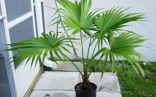 Пальма Ливистона: уход в домашних условиях, фото, выращивание из семян и виды: круглолистная и ротундифолия