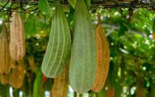Растение Люффа: уход в домашних условиях, фото, выращивание из семян