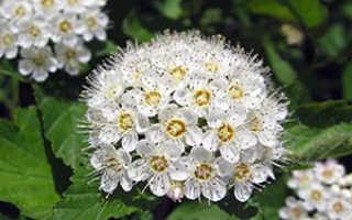 Информация о спирее: выращивание, виды и сорта