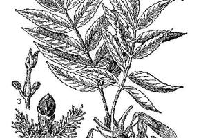 Семейство Маслиновых растений: список, описание, роды и виды
