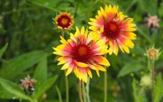 Многолетняя гайлардия: посадка и уход в открытом грунте, фото, выращивание из семян, виды и сорта