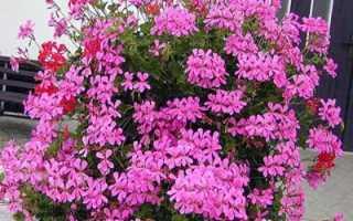 Ампельная пеларгония: уход, полив, пересадка, выращивание; виды ампельной пеларгонии