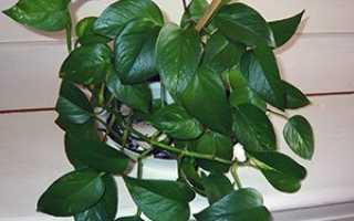Цветок Сциндапсус: уход в домашних условиях, фото, размножение, виды, можно ли держать дома