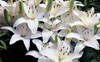 Секреты выращивания лилий – посадка и уход за лилиями в саду