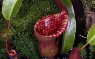 Семейство Непентовых растений: список, описание, роды и виды