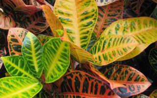 Пёстрые комнатные растения: названия и фото, правила ухода
