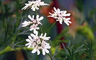 Растение кинза: выращивание из семян в открытом грунте, фото, свойства, вред и польза