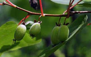 Семейство Актинидиевых растений: список, описание, роды и виды