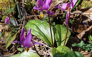 Цветок кандык: посадка и уход в открытом грунте, фото, выращивание, виды и сорта