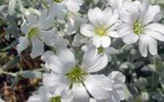 Семейство Гвоздичных растений: список, описание, роды и виды