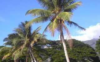 Где растут кокосы?