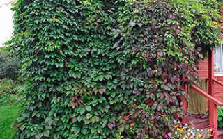 Садовые лианы: клематис, лимонник, актинидия, плющ, трехкрыльник и девичий виноград