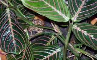 Цветок Маранта: уход в домашних условиях, фото и виды, размножение и пересадка