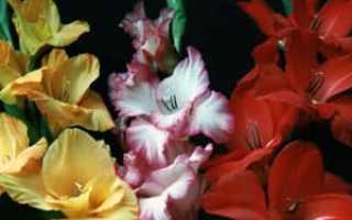 Семейство Ирисовых растений: список, описание, роды и виды