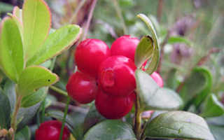 Лечебная брусника: полезные свойства и противопоказания, свойства листьев, посадка и уход