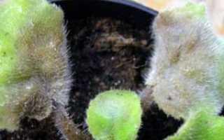 Бактериальные болезни комнатных растений – лечение и симптомы. Причины появления бактериальных болезней цветов
